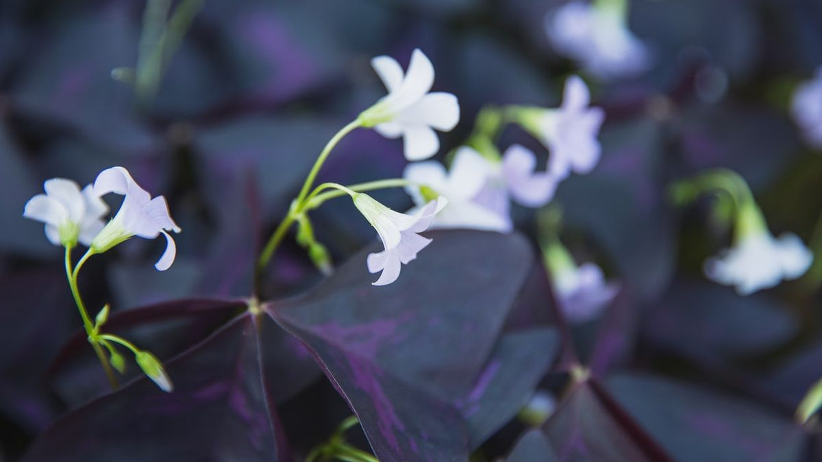 Known For Butterfly Flowers, Oxalis Plants Are Beautiful For Home Porch Decoration