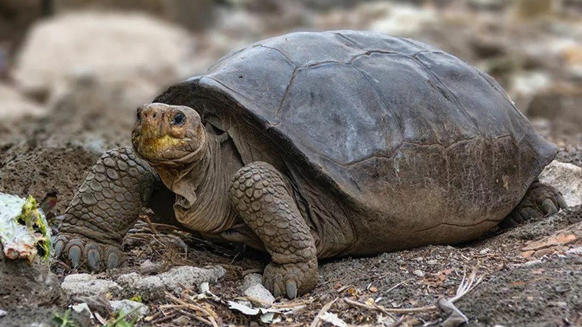 Kura-kura Raksasa Fernandina Ditemukan Kembali Setelah 100 Tahun, Ilmuwan: Misteri Terbesar