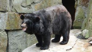 Terancam Punah, 6 Beruang Hitam Asia Lahir di Taman Nasional Jirisan
