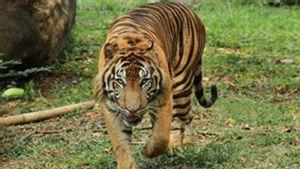 2 Harimau Terpapar COVID di Ragunan, Ahli Primata IPB: Belum Ada Data Hewan Bisa Tularkan ke Manusia