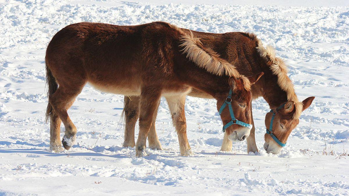 Idaho Gem: Genetic Cross Horse-donkeys Thrill The World Of Horse Racing In History Today, 4 De Mayo De 2004