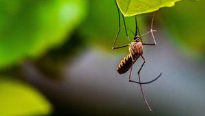 Habis Varian Baru Virus Corona, Muncul Varian Nyamuk Malaria Baru di Afrika