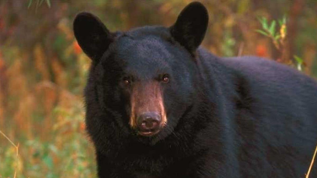 Mengerikan, Wanita 39 Tahun di Colorado AS Diserang dan Dimakan Beruang Hitam